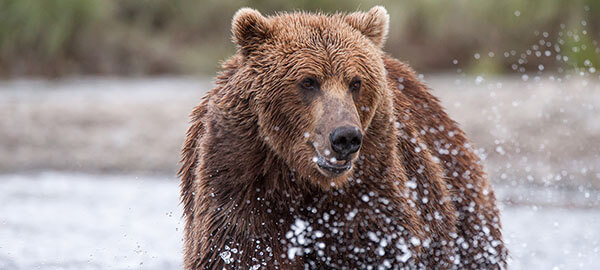 Visit the Brown Bears on the Redoubt Reserve
